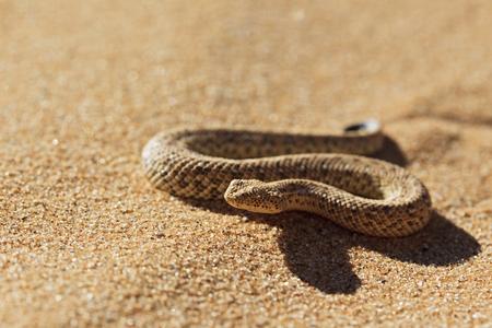 Africa,Nambia,Bitis Peringueyi Crawling On Sand In Namib Desert
