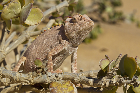 Africa,Namibia,Namaqua Chameleon In Namib Desert,Close Up LANG_EVOIMAGES