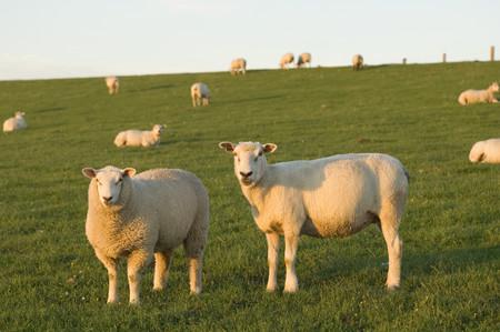 Germany,Schleswig Holstein,View Of Herd Of Sheep Grazing In Grassland