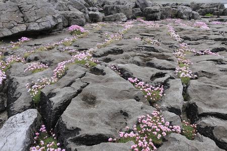 Ireland,County Clare,View Of Pink Marsh Daisy Between Rocks