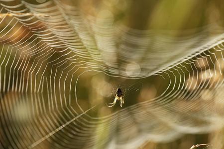 net: Germany,Bavaria,Spider In Spider Web,Close Up