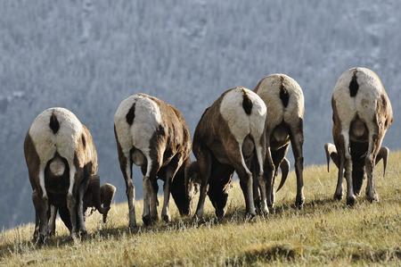 Canada,Alberta,Bighhorn Sheep Grazing In Jasper National Park LANG_EVOIMAGES