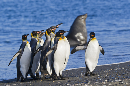 South Atlantic Ocean,United Kingdom,British Overseas Territories,South Georgia,Salisbury Plain,King Penguins And Seal In Background LANG_EVOIMAGES