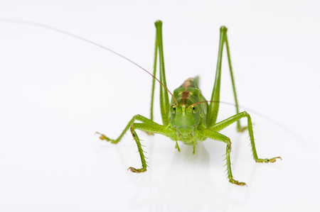 Grasshopper Sitting On White Background,Close Up LANG_EVOIMAGES