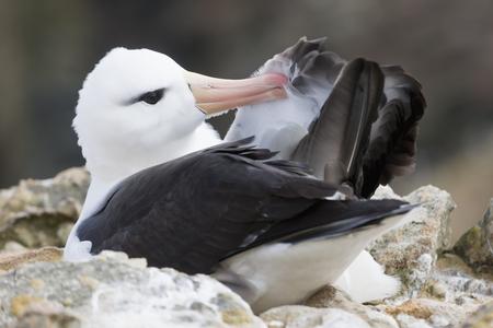 South Atlantic Ocean,Falklands,Falkland Islands,West Falkland,New Island,Wandering Albatross,Close Up