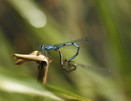 Germany,Bavaria,Common Blue Damselfly On Twig,Close Up