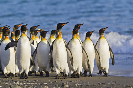 South Atlantic Ocean,United Kingdom,British Overseas Territories,South Georgia,Whistle Cove,Fortuna Bay,King Penguins Colony LANG_EVOIMAGES