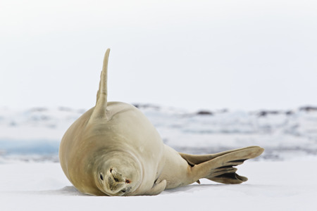 South Atlantic Ocean,Antarctica,Antarctic Peninsula,Lemaire Channel,Yalour Islands,Crabeater Seal Lying On Snow LANG_EVOIMAGES