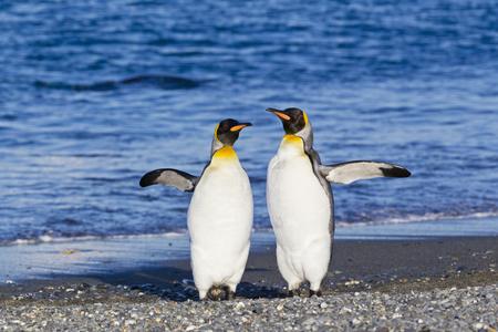 South Atlantic Ocean,United Kingdom,British Overseas Territories,South Georgia,Salisbury Plain,King Penguins LANG_EVOIMAGES
