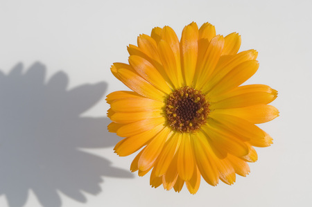 Marigold (Calendula Officinalis),Close Up