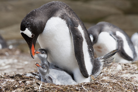 South Atlantic Ocean,United Kingdom,British Overseas Territories,South Georgia,Gentoo Penguin With Chicks