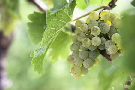 Italy,South Tyrol,Terlan,Bunch Of Grapes,Close Up