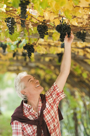 Italy,South Tyrol,Mature Man Looking At Bunch Of Grapes At Grape Vine