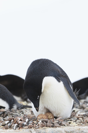 South Atlantic Ocean,Antarctica,Antarctic Peninsula,Lemaire Channel,Adelie Penguins On Yalour Islands LANG_EVOIMAGES