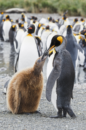 South Atlantic Ocean,United Kingdom,British Overseas Territories,South Georgia,King Penguin With Chicks