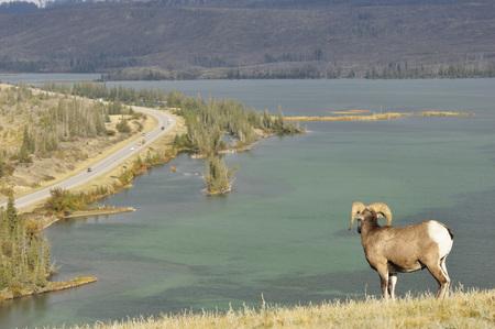 Canada,Alberta,Bighhorn Sheep In Jasper National Park And Yellowhead Highway In Background