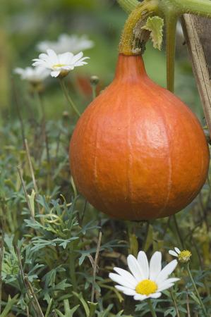 Germany,Bavaria,Pumpkin In Garden,Close Up LANG_EVOIMAGES