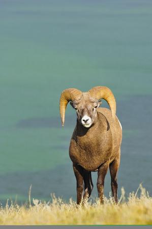 Canada,Alberta,Bighhorn Sheep In Jasper National Park