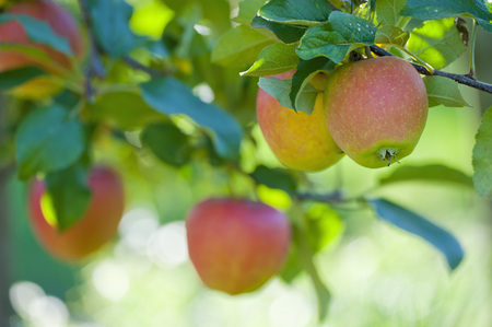 Germany,Deggenhausertal,Branch Of Apple Tree,Close Up LANG_EVOIMAGES