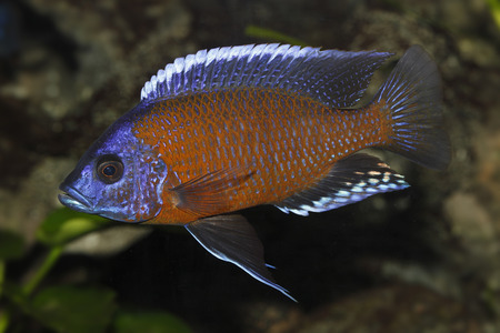 Germany,Cichlid Fish Swimming In Aquarium Freshwater LANG_EVOIMAGES