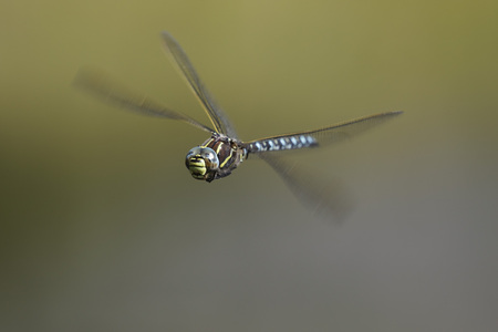 Germany,Murnau,Close Up Of Male Mooland Hawker Flying LANG_EVOIMAGES