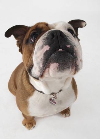 Close Up Of Bulldog Sitting On White Background