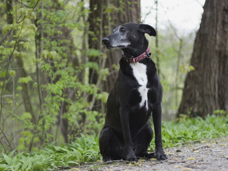 Germany,Munich,View Of Black Podengo Dog Sitting In Forest LANG_EVOIMAGES