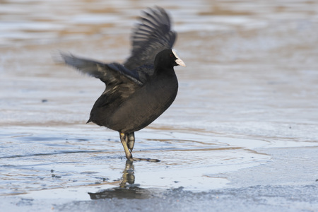 Germany,Munich,View Of Coot Spreading Wings On Ice