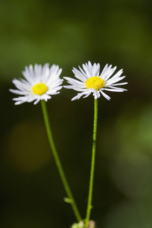 Germany,Close Up Of German Chamomile LANG_EVOIMAGES