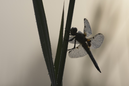 Germany,Murnau,Close Up Of Male Four-Spotted Chaser On Grass