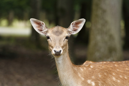 Germany,Bavaria,Fallow Deer In Wildpark
