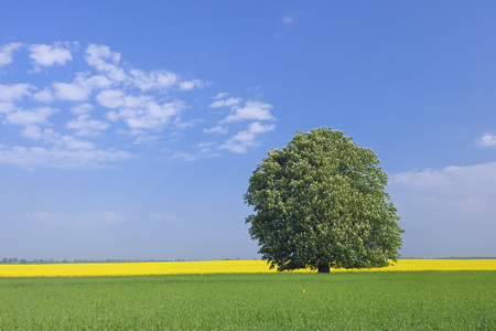 Germany,Mecklenburg-Vorpommern,View Of Single Blossoming Horse Chestnut Tree With Rape Field In Background
