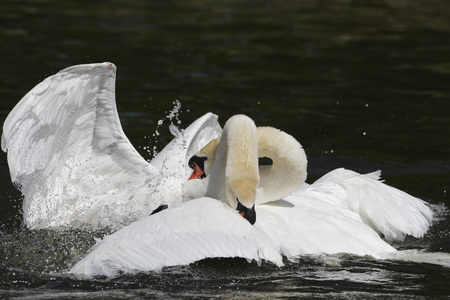 Germany,Munich,View Of Two Flying Mute Swans Fighting In Water