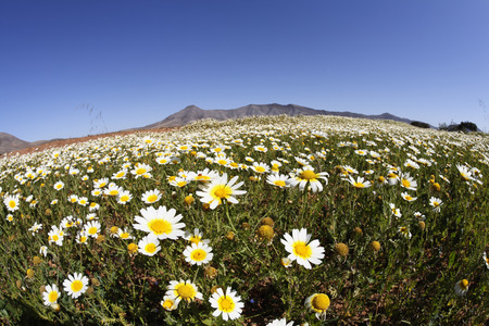 Spain,Canary Islands,Fuerteventura,Cuchillos,View Of Blooming Marguerites LANG_EVOIMAGES