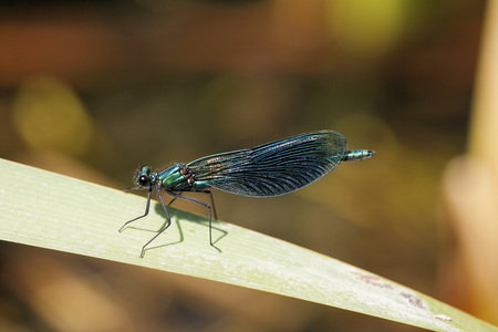 Germany,Bavaria,View Of Banded Demoiselle On Leaf