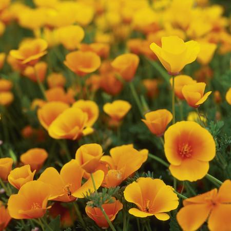 Usa,California,View Of Poppy Flowers