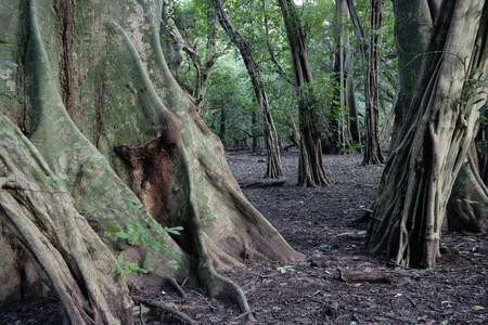 Africa,Guinea Bissau,Bissagas Islands,Caravel Island With Ceiba Trees At National Park Orango Grande