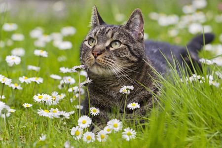 Germany,Bavaria, European Shorthair Cat Lying On Meadow