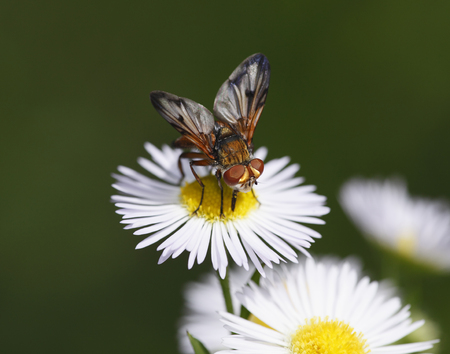 Austria,Wachau,Close Up Of Parasitic Fly On Annual Fleabane