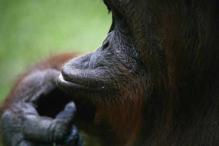 Indonesia,Borneo,Tanjunj Puting National Park,View Of Bornean Orangutan In Forest,Close Up LANG_EVOIMAGES