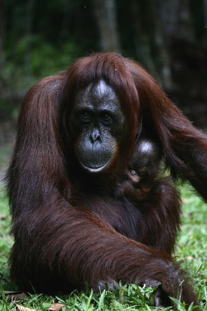 Indonesia,Borneo,Tanjunj Puting National Park,View Of Bornean Orangutan With Young One In Forest LANG_EVOIMAGES