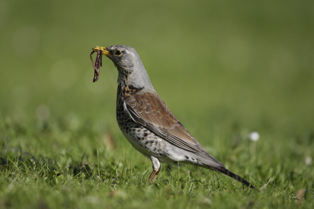 Germany,Munich,Close Up Of Fieldfare Carrying Worm In Mouth