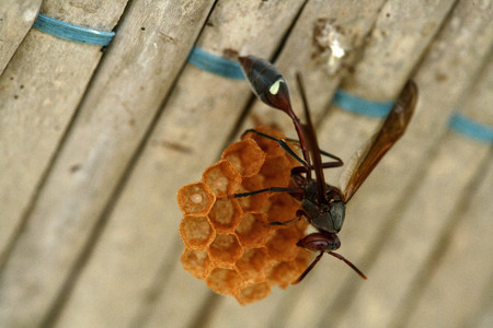 Africa,Guinea-Bissau,Wasp Sitting On Comb