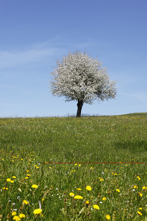 Germany,Bavaria,Swabia,Allgaeu,Oberallgaeu,Oberstaufen,View Of Blooming Apple Tree On Meadow