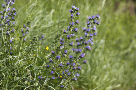 Austria,Wachau,Close Up Of ViperS Bugloss LANG_EVOIMAGES