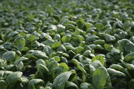 Germany,Upper Bavaria,Weidenkam,View Of Greenhouse With Spinach