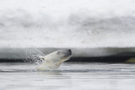 Europe,Norway,Svalbard,Polar Bear Shaking Fur In Water