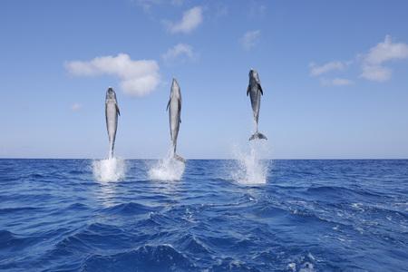 Latin America,Honduras,Bay Islands,Roatan,Bottlenose Dolphin Jumping In Caribbean Sea