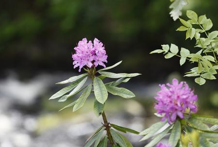 United Kingdom,Northern Ireland,County Antrim,Rhododendron