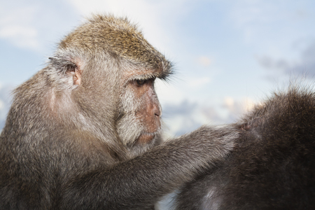 Indonesia,Bali Island,Bukit Peninsula,Monkey Searching Lice In Other Monkey Hair LANG_EVOIMAGES